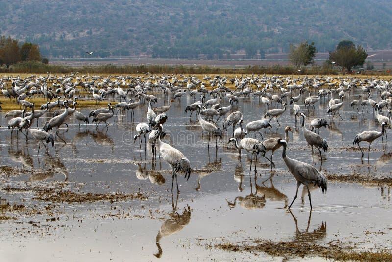 Download Перелётные птицы на озере Hula Стоковое Изображение - изображение насчитывающей флора, крыло: 81813221