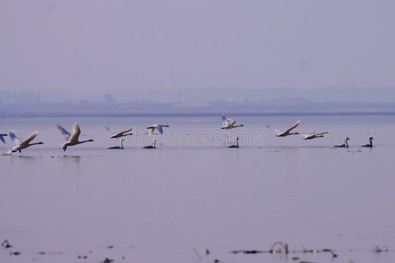 Перелётные птицы озера лебед в зиме стоковые изображения