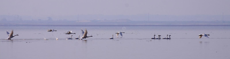 Перелётные птицы озера лебед в зиме стоковое изображение rf