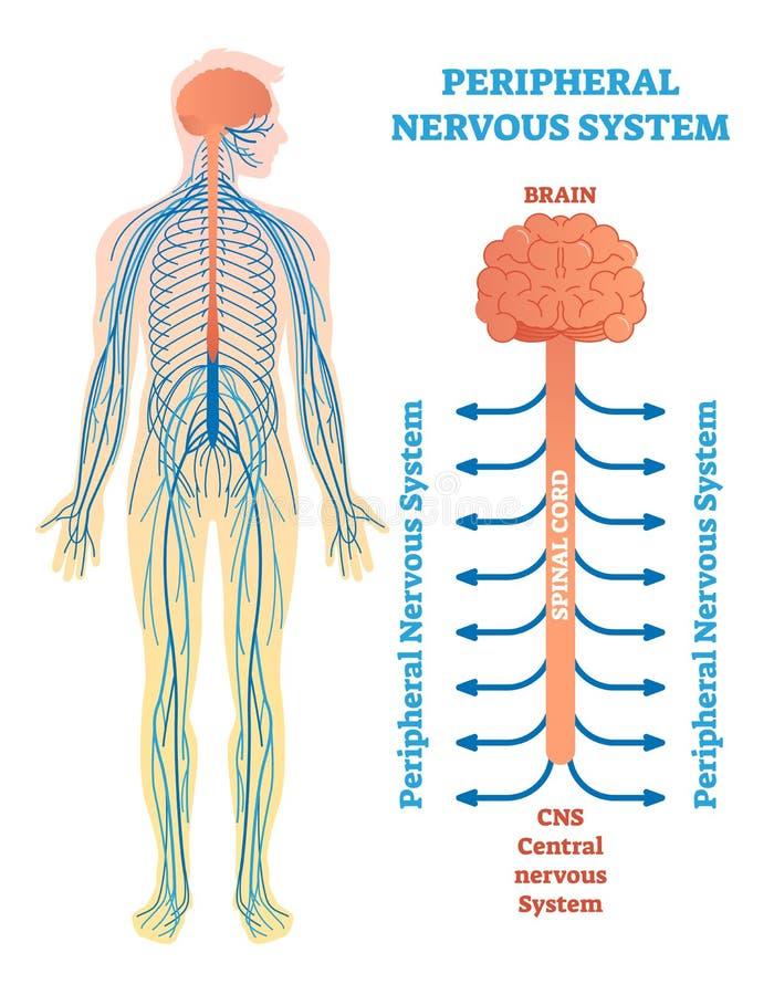 Периферийная нервная система, медицинская диаграмма иллюстрации вектора с мозгом, спинной мозг и нервы иллюстрация вектора