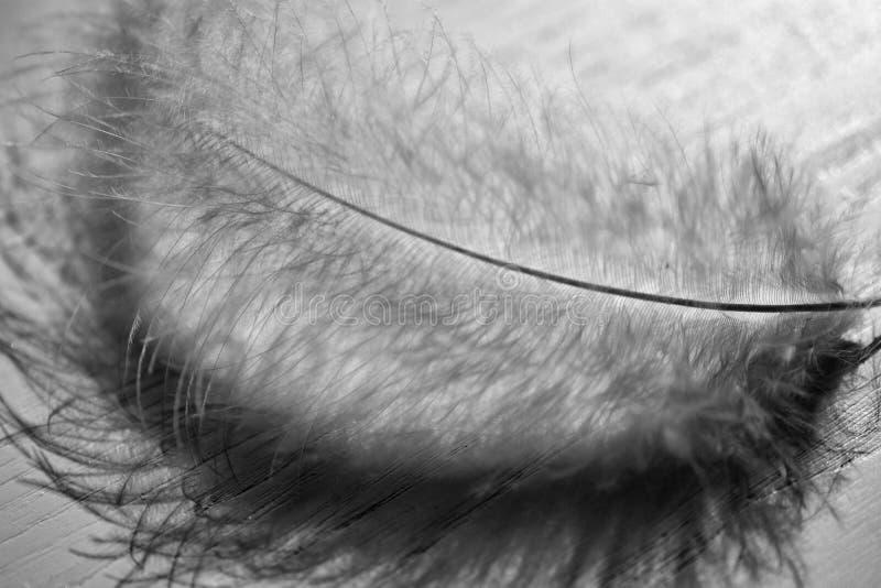 Перо лебедя в B&W стоковое изображение
