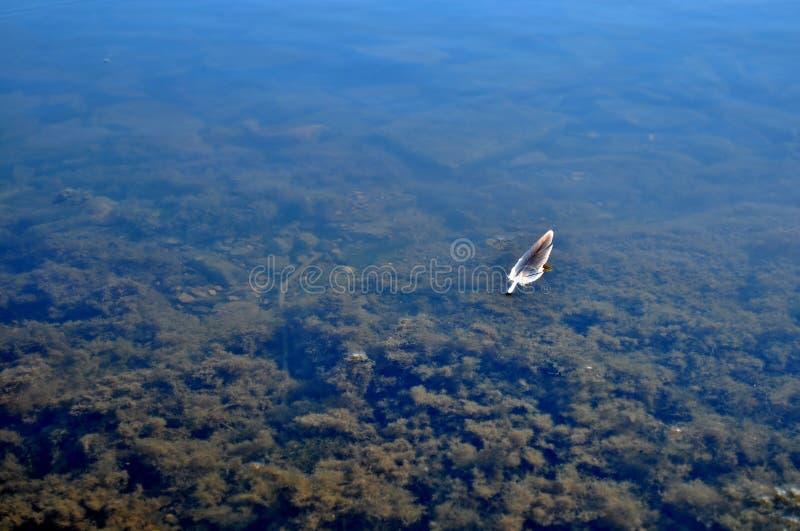 Перо плавая на затишье, вода озера стоковая фотография