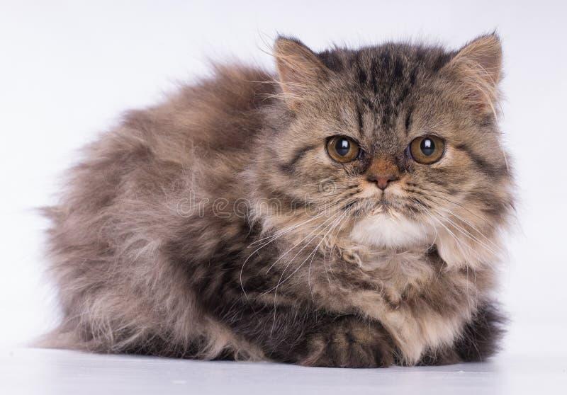 Персидский коричневый кот смотря камеру изолированную на белой предпосылке стоковое изображение rf