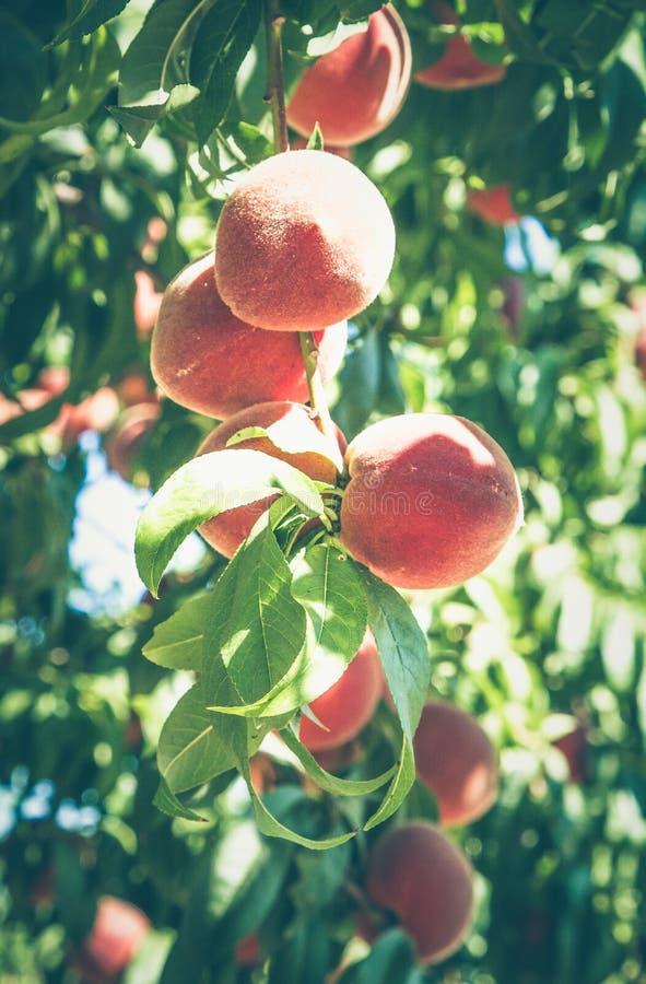 Персики на ветви в солнечном свете стоковые изображения
