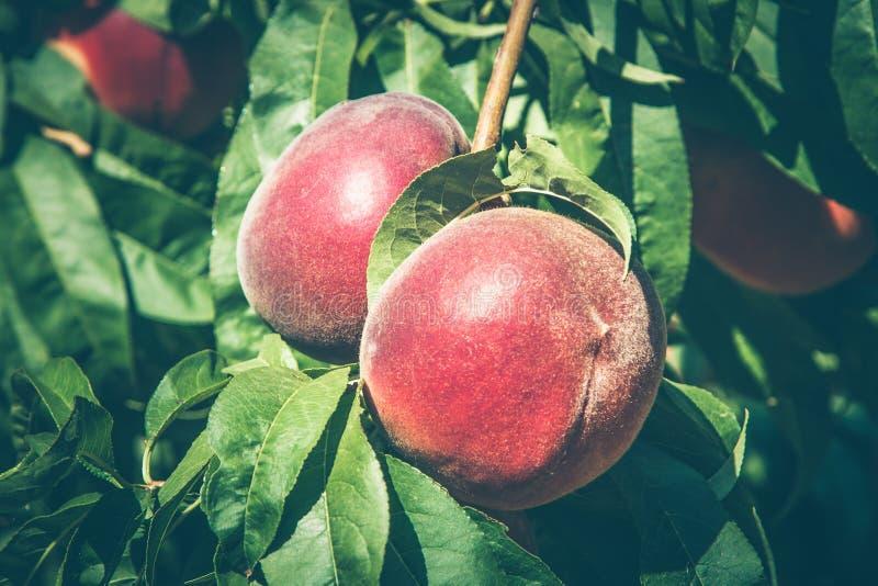 Персики на ветви в солнечном свете стоковое изображение