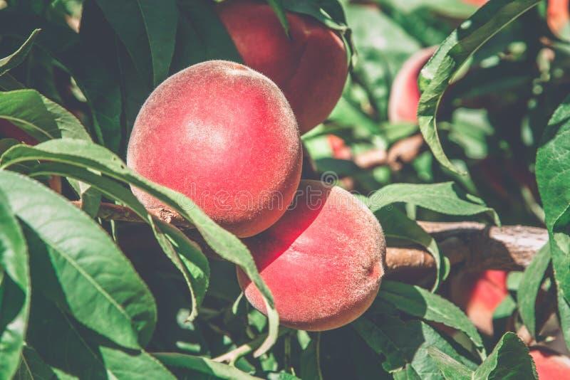 Персики на ветви в солнечном свете стоковое фото