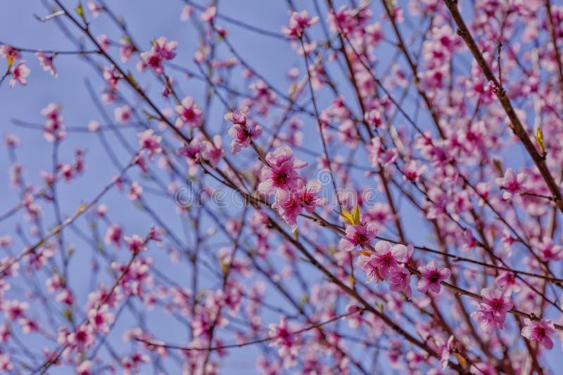 Персиковое дерево зацвело весной стоковая фотография