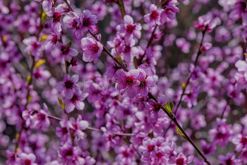 Персиковое дерево зацвело весной стоковое фото rf