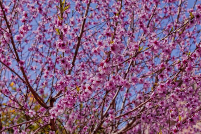 Персиковое дерево зацвело весной стоковые фото