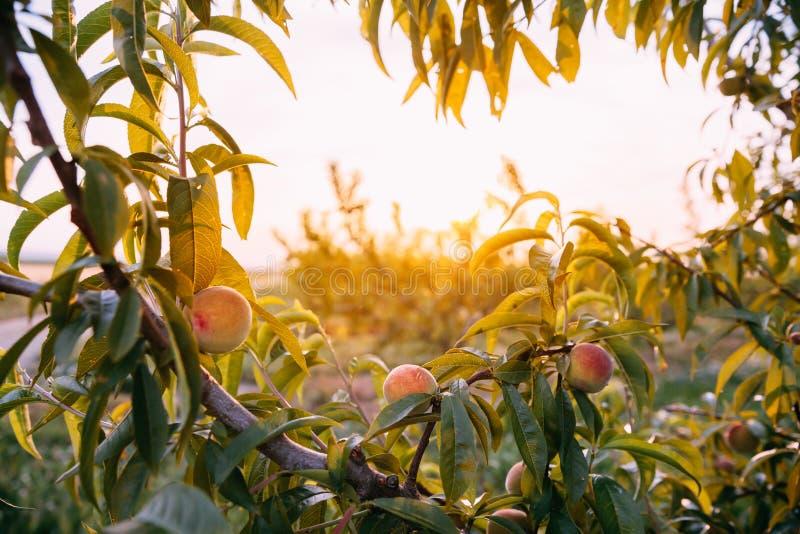 Персиковое дерево с зрея персиками в испанском сельском саде на Spri стоковые фотографии rf