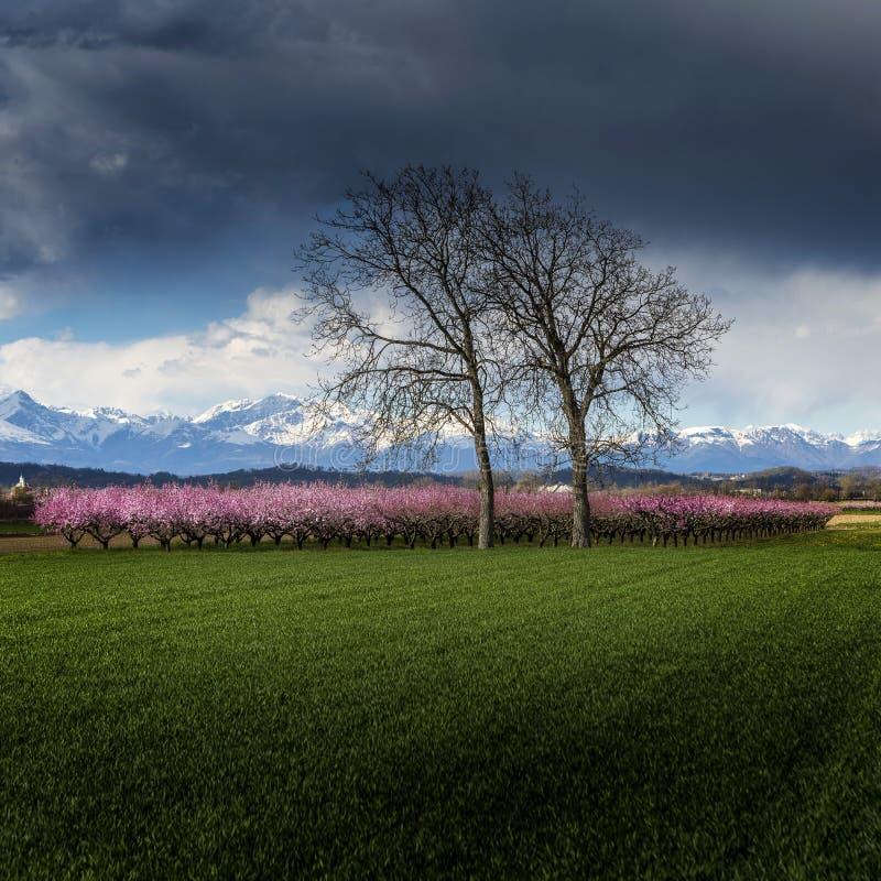 Персиковое дерево стоковое изображение