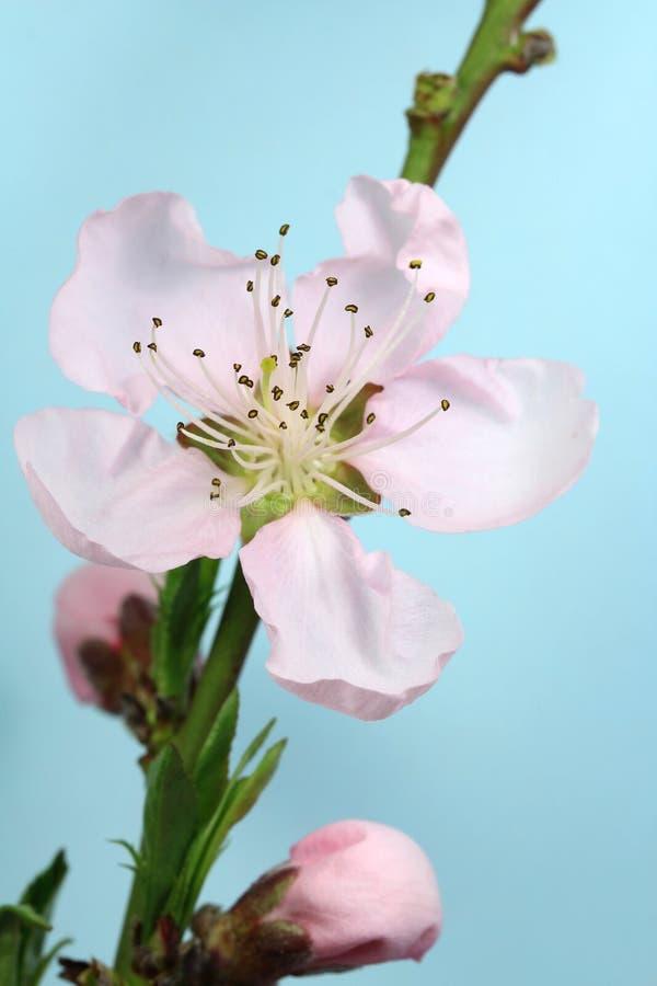 Персик бутона blossoming стоковая фотография