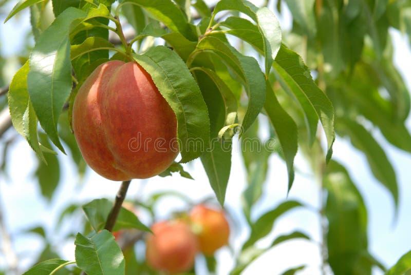 Персик на персиковом дереве стоковые фото