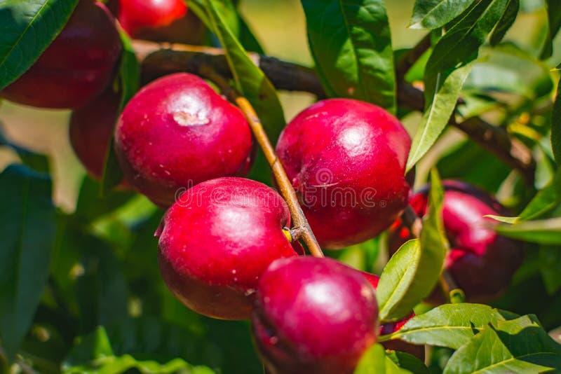 персик Органический естественный плодоовощ от природы стоковые изображения rf
