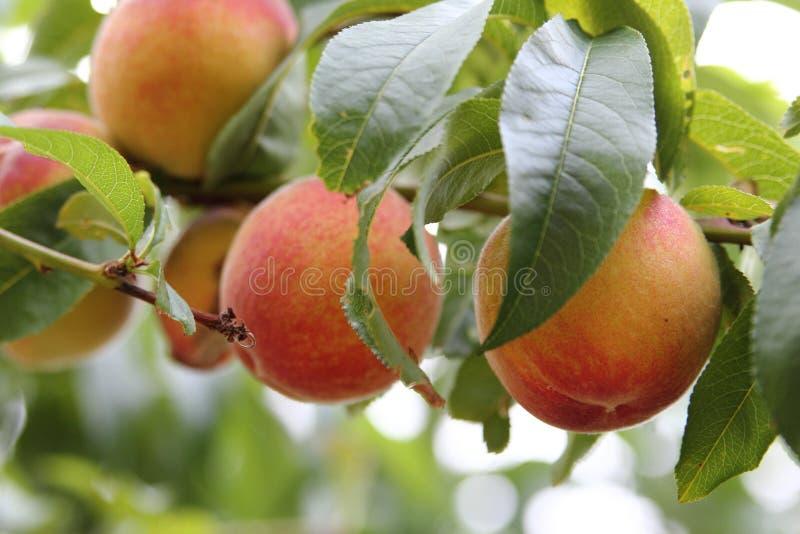 персик плодоовощ стоковые изображения