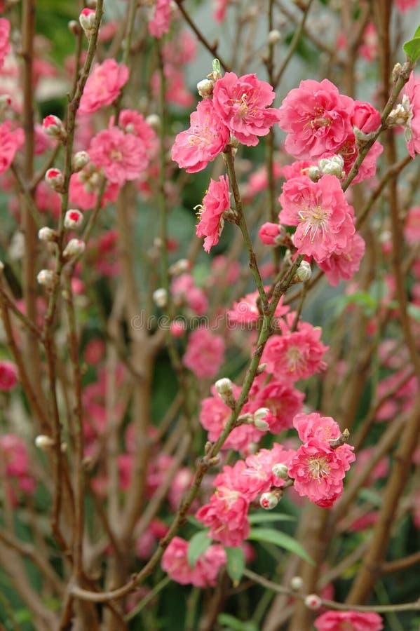 персик цветения стоковые фото