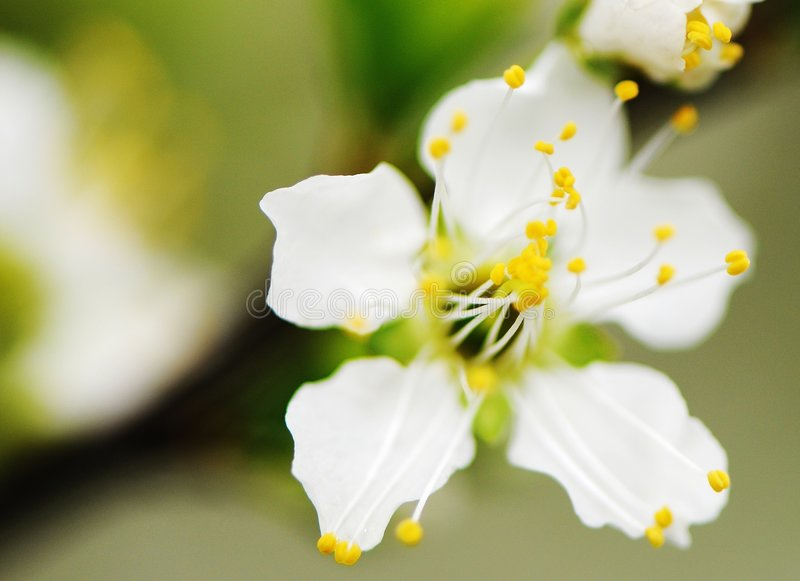 персик цветка стоковая фотография