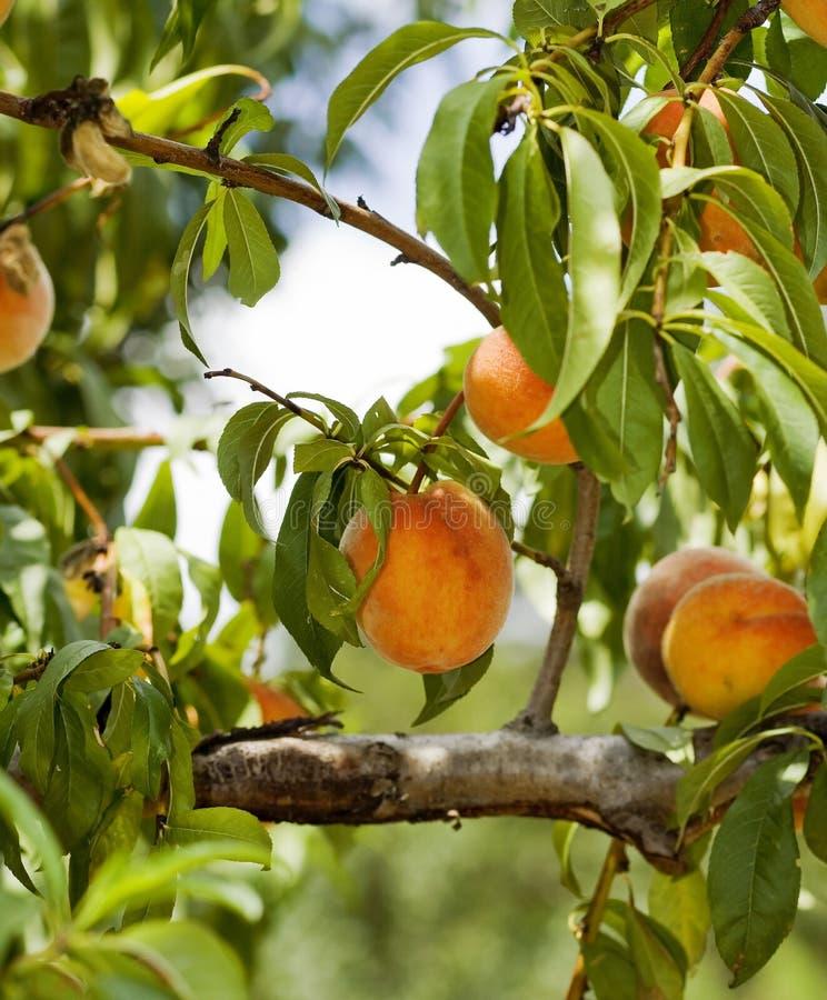 Персик стоковая фотография rf