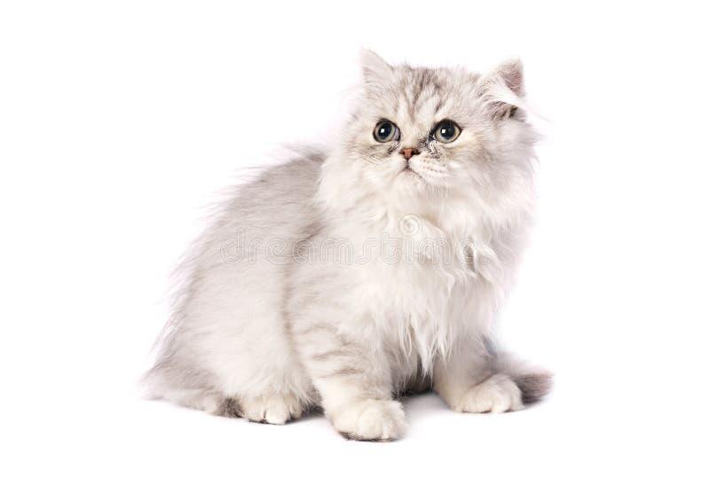 персиянка котенка стоковое изображение rf