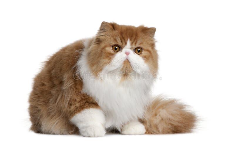 персиянка 10 месяцев кота старая стоковое изображение rf
