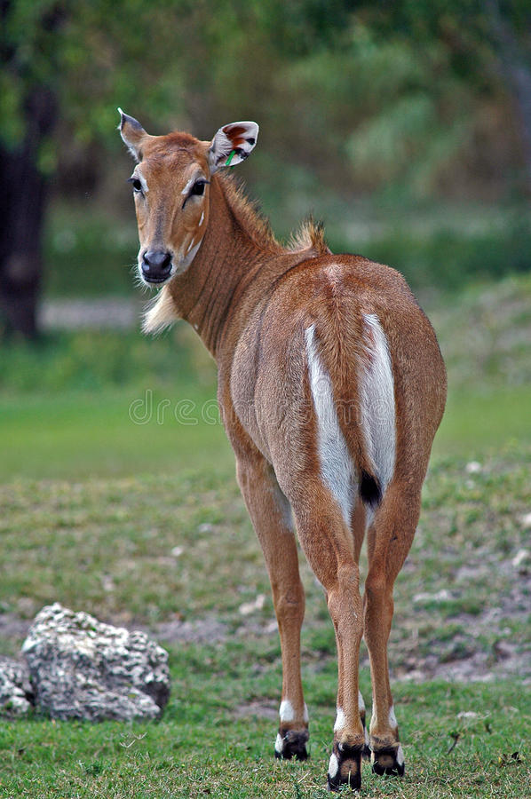 Персидский газель стоковое фото