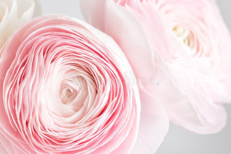 Перский лютик Пук бледный - розовый лютик цветет светлая предпосылка обои, горизонтальное фото стоковое фото rf