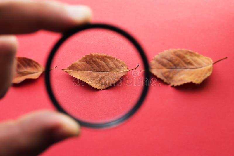 Персона держит стекло в его руках и смотреть через ее на упаденных листьях осени стоковые фотографии rf