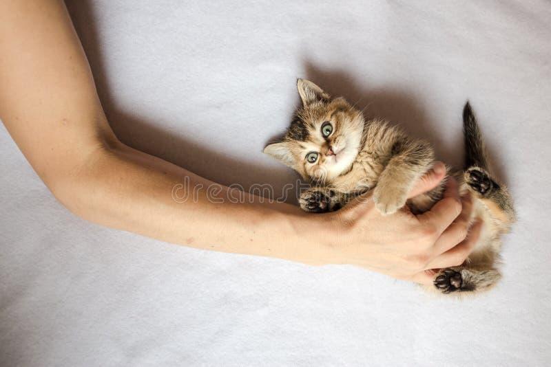 Персона клала его руку на chinchi милого котенка живота великобританское золотое стоковое изображение