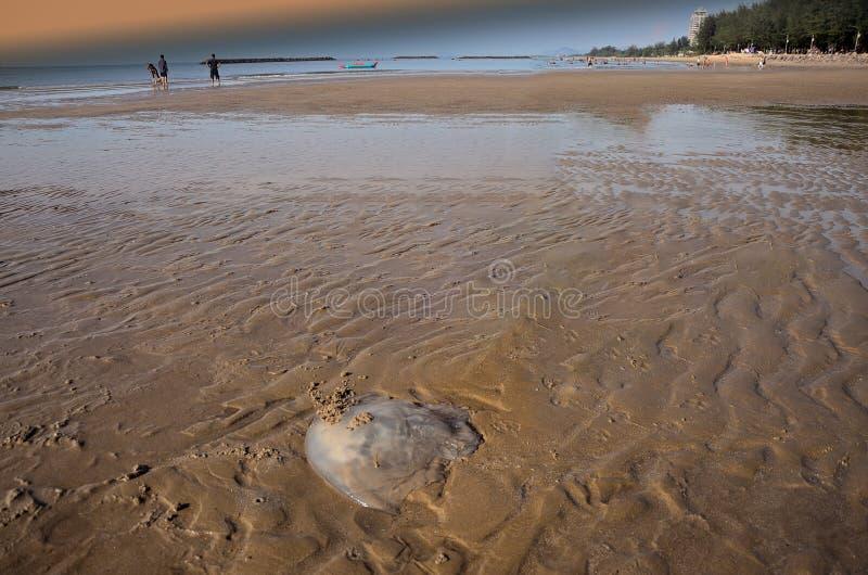Персона смотря медуз nomadica Rhopilema на взморье Этот вид медуз имеет vermicular нити с ядовитым жалом стоковые фотографии rf