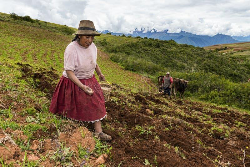 Перуанская женщина засуя поле около Maras, в Перу стоковое фото
