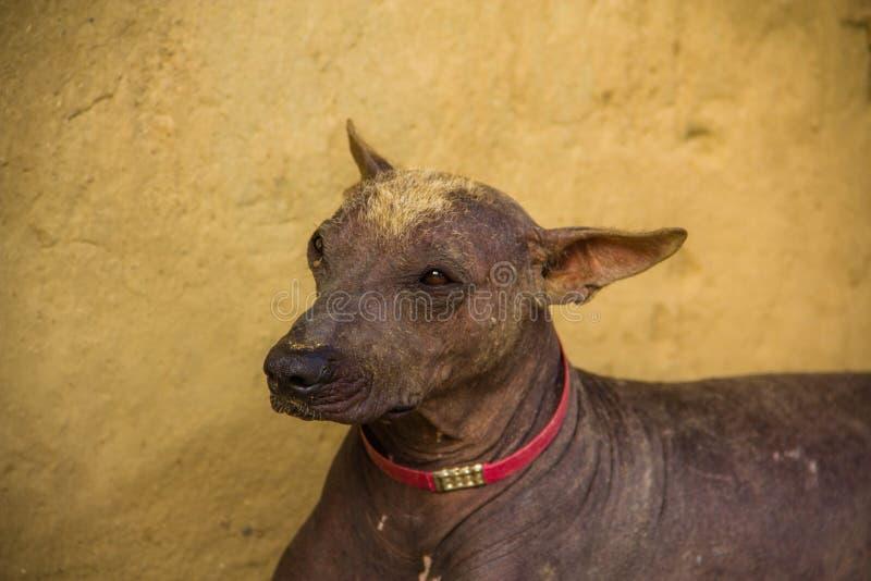Перуанские животные Америка собаки стоковая фотография