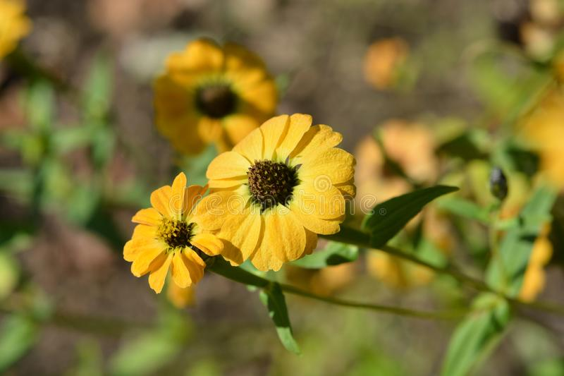 Перу Bonita Yellow Zinnia стоковая фотография rf