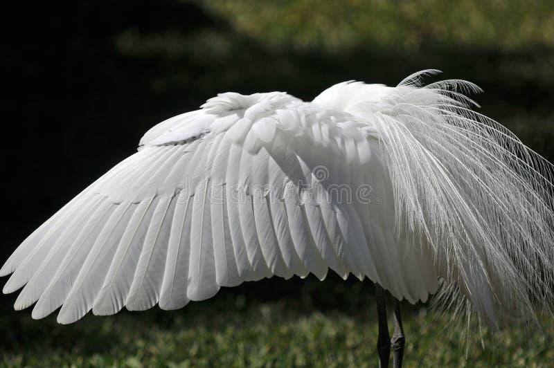 Пер большого белого Egret стоковое изображение rf