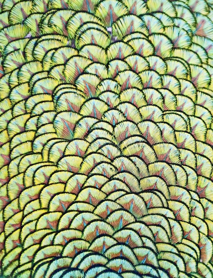 Пер индийского павлина стоковое изображение rf