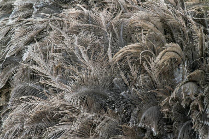 Пер страуса для картины стоковая фотография