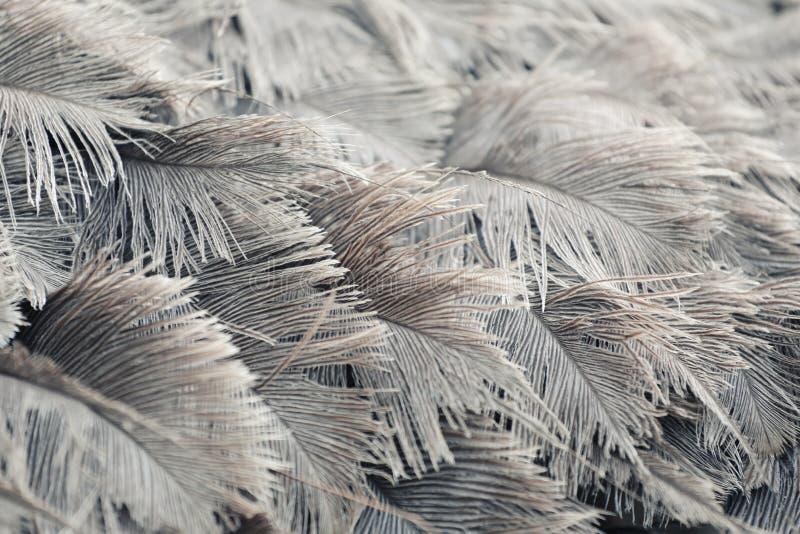 Пер страуса серого цвета стоковое фото rf