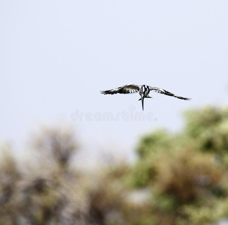 Пестрая рыбная ловля Kingfisher стоковые фотографии rf
