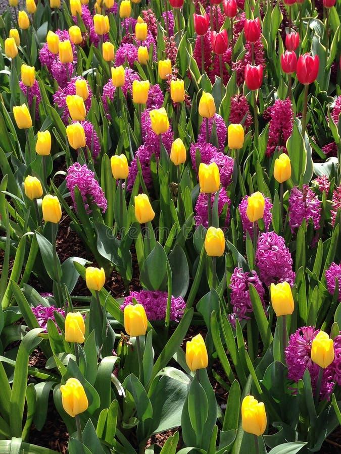 Пестротканое цветене тюльпанов весны полностью стоковые фотографии rf