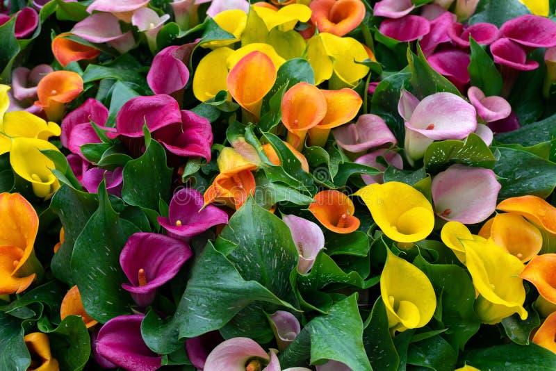 Пестротканый желтый, розовый апельсин, пурпурные цветки calla как предпосылка стоковые изображения rf