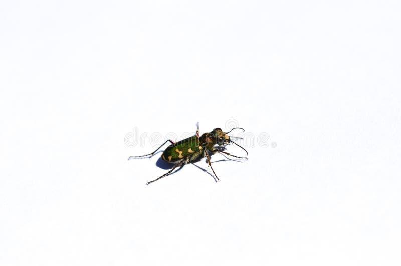 Пестротканый жук изолированный на белой предпосылке стоковые изображения
