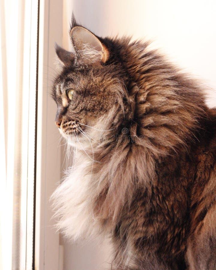 Пестротканый кот с длинными волосами енот Мейн стоковое фото