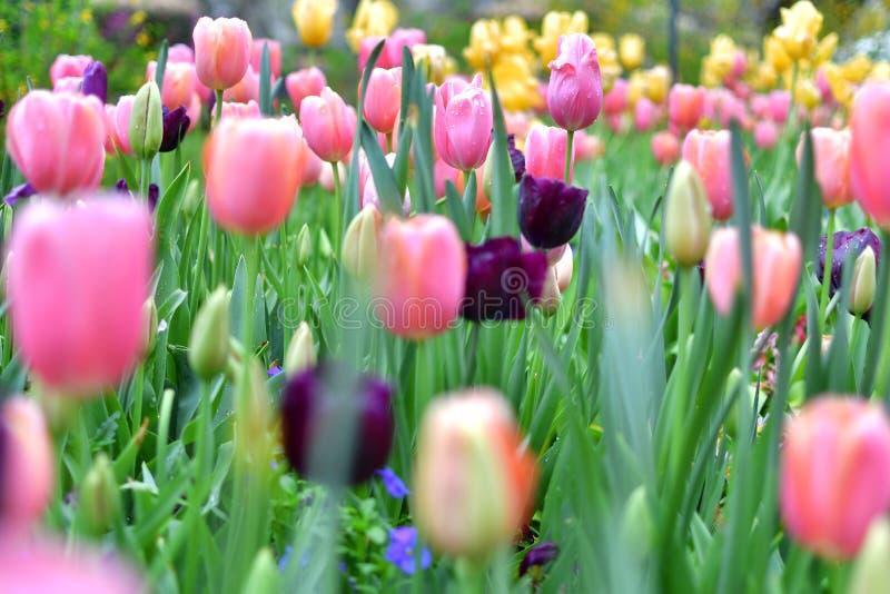 Пестротканый тюльпан с blured передним планом стоковые фото