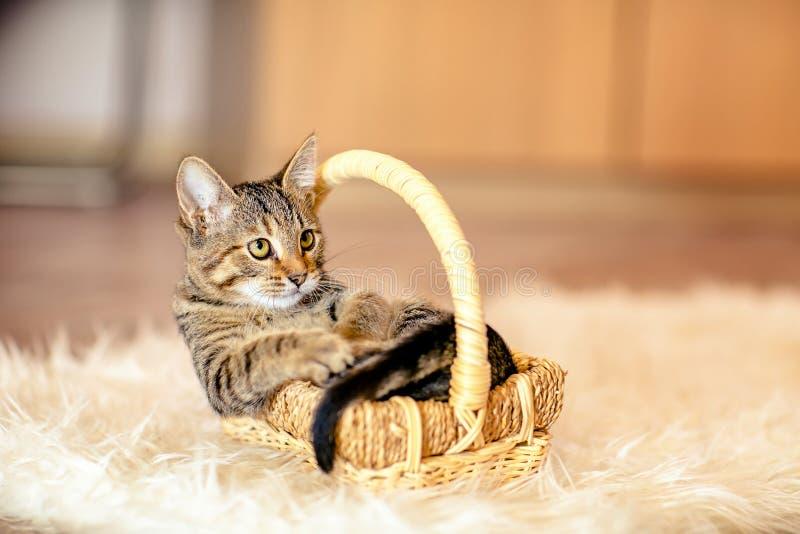 Пестрый котенок важный сидит в корзине Время 2 месяцев стоковые фото