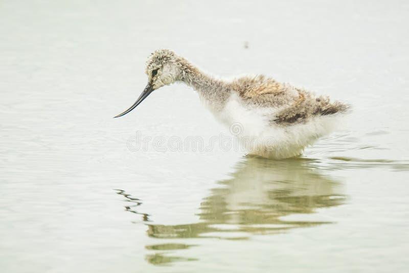 Пестрый цыпленок птицы wader avosetta Recurvirostra Avocet стоковые изображения rf
