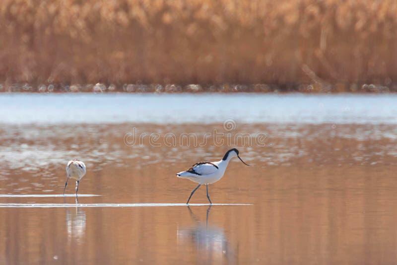 Пестрый Avocet в воде ища птица wader avosetta Recurvirostra еды черно-белая стоковые изображения