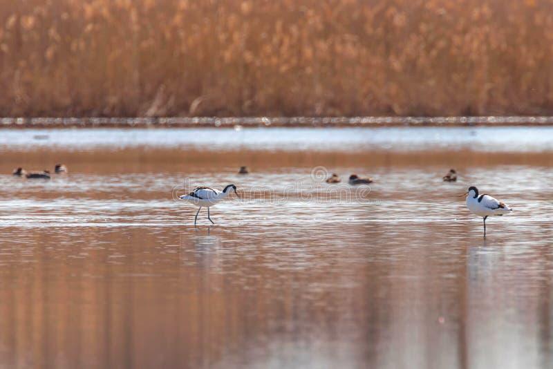 Пестрый Avocet в воде ища птица wader avosetta Recurvirostra еды черно-белая стоковая фотография rf