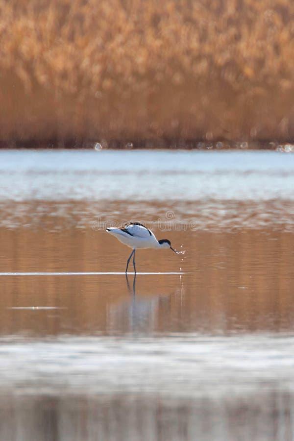 Пестрый Avocet в воде ища птица wader avosetta Recurvirostra еды черно-белая стоковое фото rf
