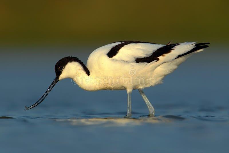 Пестрый Avocet, avosetta Recurvirostra, черно-белая птица wader в открытом море, погруженной в воду голове, Франции стоковые фотографии rf
