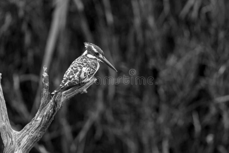 Пестрый kingfisher в национальном парке Kruger, Южной Африке стоковые изображения