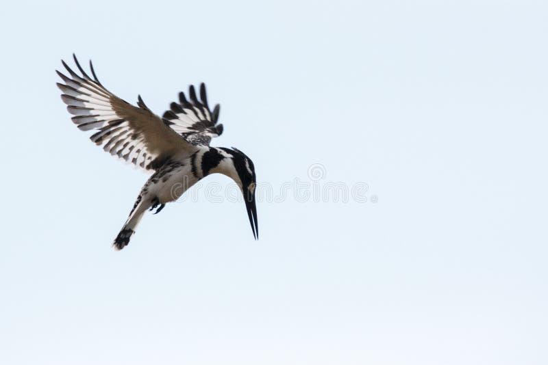 Пестрый Kingfisher в полете стоковое изображение